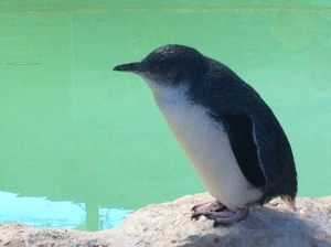 A little penguin at the Penguin Island Discovery Centre. ©Summer Wilms 2014