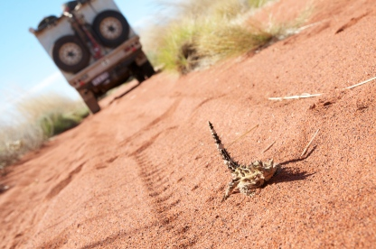 Thorny Devils are just one of many animals travelers may encounter along the Canning Stock Route.